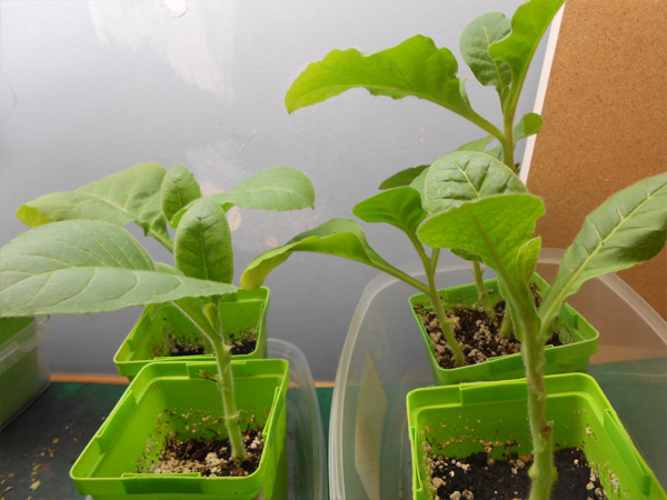 how to grow tobacco indoors